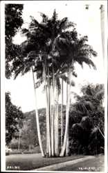 Postcard Port of Spain Trinidad Tobago, Palms, Palmen, Feldweg