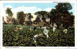 Postcard Havanna Kuba, Tobacco Plantation, Tabakplantage