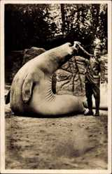 Postcard Hamburg Stellingen, Hagenbecks Tierpark, Seeelefant, Pfleger