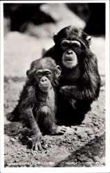 Postcard Zoologischer Garten Berlin, Junge Schimpansen