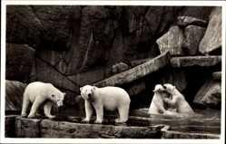 Postcard Hamburg Eimsbüttel Stellingen, Carl Hagenbecks Tierpark, Eisbären