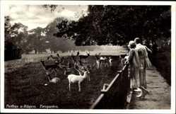 Postcard Putbus auf der Insel Rügen, Partie im Tiergarten, Damwild, Gehege