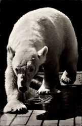 Postcard Zoologischer Garten Berlin, Ausgewachsener Eisbär