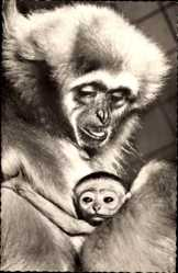 Postcard Zoologischer Garten Berlin, Gibbonmutter mit Jungem, Affen, Junges