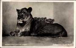 Postcard Zoologischer Garten Berlin, Abessinische Löwin, Jungen, Löwenkinder