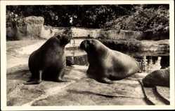 Postcard Hamburg Eimsbüttel Stellingen, Carl Hagenbeck's Tierpark, Walrosse