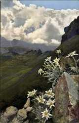 Ak Photochromie, Leontopodium alpinum, Nenke und Ostermaier 521 920, Alpenflora