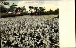 Ansichtskarte / Postkarte Bermuda, general view of an Easter Lily Field, Lilien